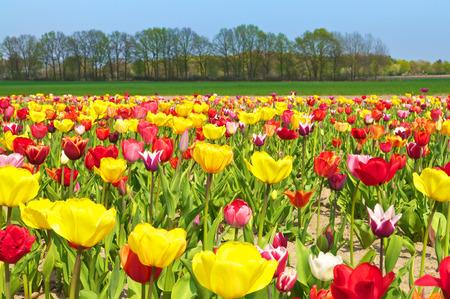与开花的郁金香领域,草甸和树的风景;郁金香栽培;花卉种植者