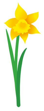 Illustration of single daffodil on white background; Vector graphic of spring flower isolated