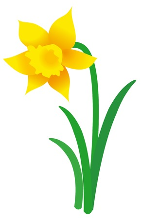 Vector graphic of single blooming daffodil on white background; Illustration of yellow spring flower with green petals