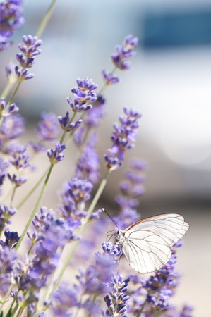 White butterfly on lavender flowers; Black-veined white butterfly searching for nectar flower