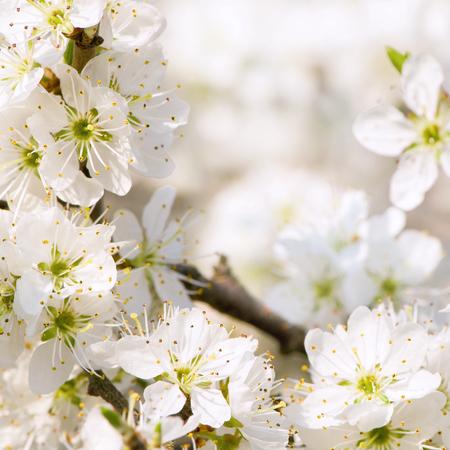 versatile: Blackthorn blossoms; White flowers in spring; Spring greetings; Spring awakening Stock Photo