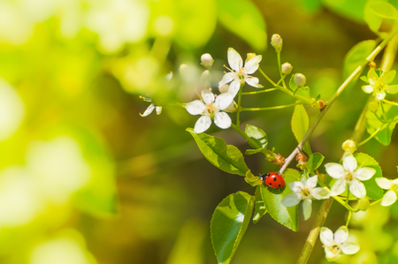 Red ladybug on flowering twig against green blurry background; Spring and Easter greetings; Spring messenger; Coccinellidae Stock Photo