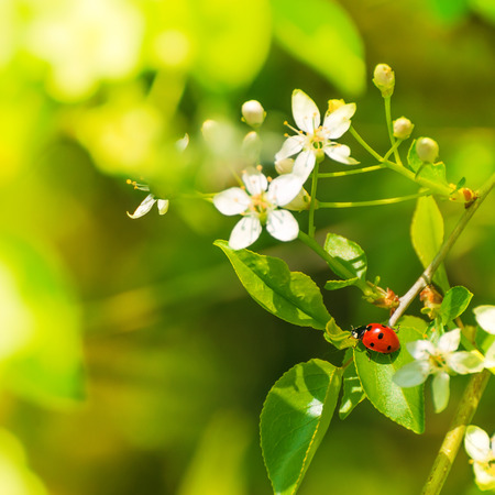Seven-spotted red ladybeetle on green leaf of flowering shrub; Lucky charm; Spring motif