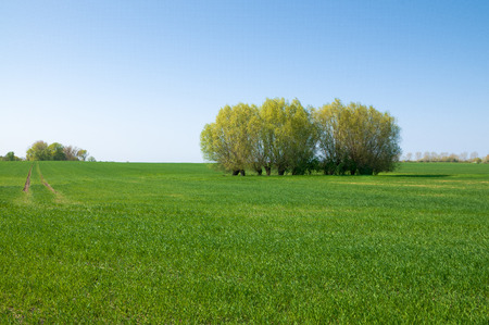 Spring landscape with green cereal field and grove of trees under blue sky; Agrarian landscape; Fresh green in springtime