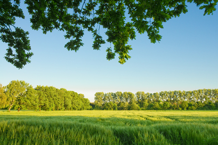 Green barley field edged with trees, in summer sun with blue sky; Agricultural landscape; Arable farming, Agricultural area