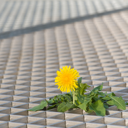 Flowering dandelion plant growing through floor grilles; Where theres a will theres a way; Symbol for lonesome fighter