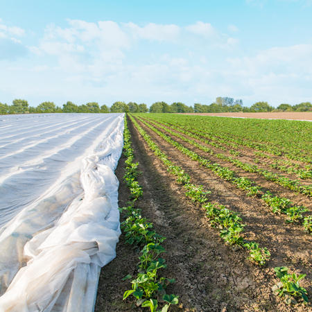 Rows of strawberry plants, Partially covered with agricultural fleece; Strawberry field in early spring; Fruit growing