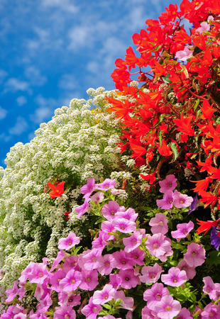 Pink, red and white flowers balcony; Lush blooming flowers; colorful blossoms Stock Photo
