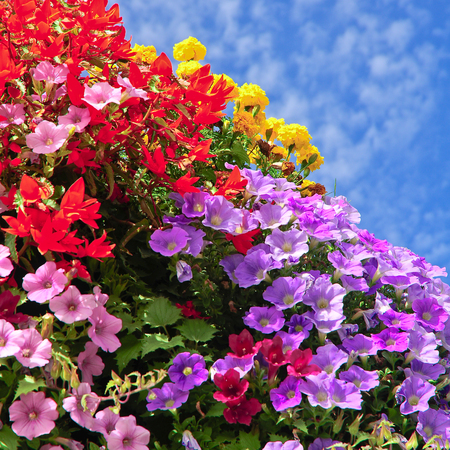 Colorful balcony flowers against slightly cloudy blue sky; Lush blooming flowers; Flower box with blossoms in different colors