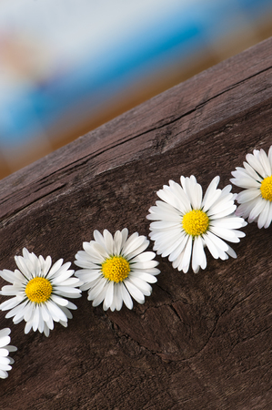 cull: Bellis Perennis blossoms in a row on dark brown wooden board; Daisies on wood; Greeting card; wildflowers