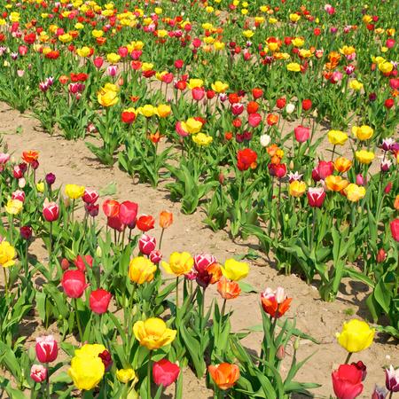 suelo arenoso: Cultivo de tulipanes con plantas con flores; Campo colorido del tulipán; Filas de tulipanes en flor en diferentes colores; Reproducción de flores