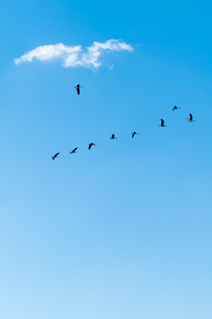 Wild geese on the way to the south; Wild birds in the clear blue sky; Freedom; Flight of birds