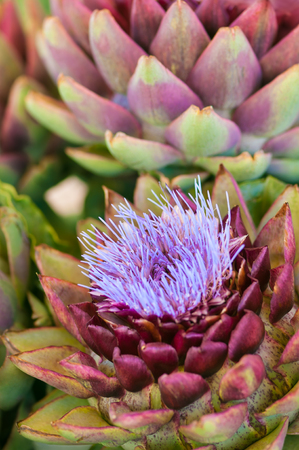 Artichoke blossom; Decorative vegetable; Artichoke head with flower in bloom; Cynara cardunculus Stock Photo