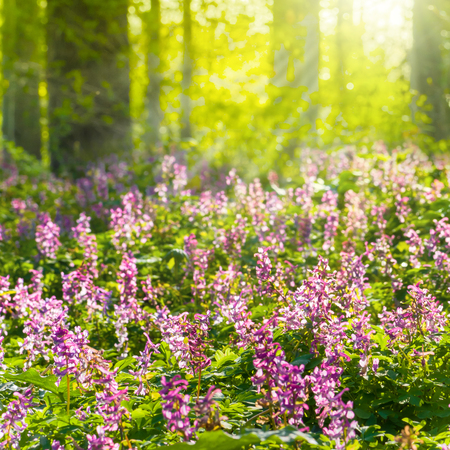 Sunbathed forest with flowering corydalis plants; White and purple flowering wild plants in forest; Sunrays illuminate flowers on the ground of forest in spring