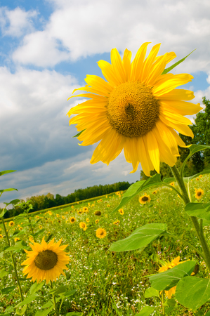 Meadow with sunflowers in front of blue sky with some clouds; Crop rotation; Agricultural landscape; Crop plants