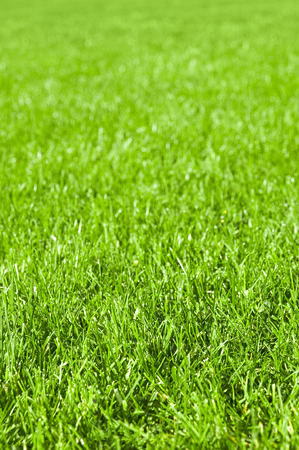 Lush green grass for background or texture; Green space; Blades of grass in close up; Lawn care