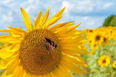 Butterfly on sunflower in front of sunflower field under cloudy summer sky; Red admiral on sunflower in close up