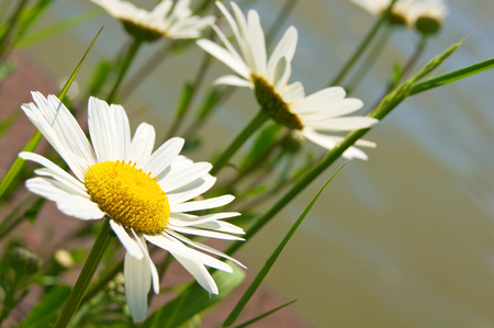 Wild marguerite blossoms in close-up against blurry green background; Leucanthemum vulgare; White wildflowers Stock Photo