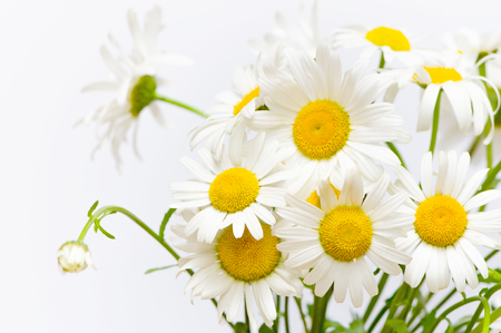 Bunch of oxeye daisy flowers against white background; Bunch of white wildflowers with yellow center; Marguerites in close up; Leucanthemum vulgare Stock Photo