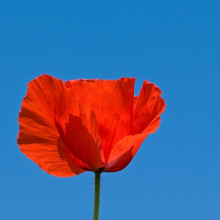 Bright red single corn poppy blossom against azure blue background - side view; Red wild flower Stock Photo
