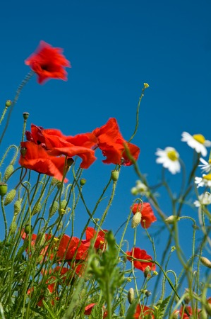 Red corn poppies and white chamomile blossoms against clear blue sky; Meadow flowers; Wild summer flowers Stock Photo