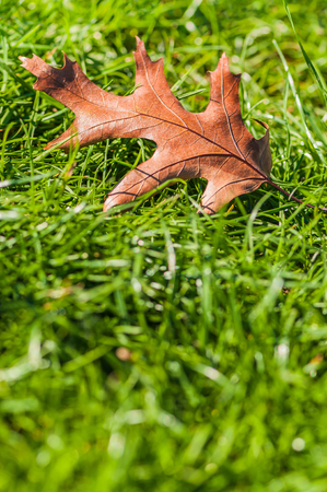 Single brown oak leaf in the grass; Dry and old leaf of oak tree on the ground; Quercus rubra; Symbol for transience Stock Photo