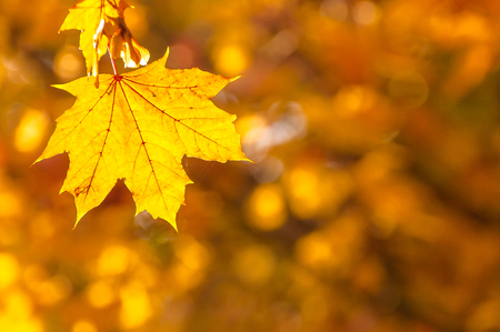 natue: Yellow maple leaf in sunlight against blurred orange background