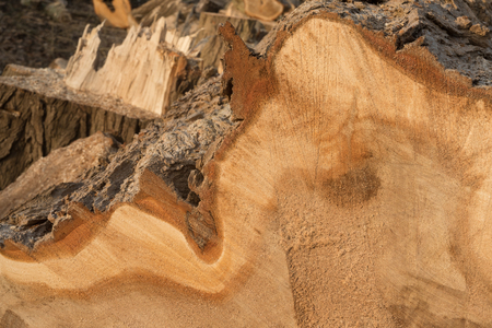 View on cross section of old tree trunk; Wood processing; Wood texture for background; Felled tree trunk; Poplar wood