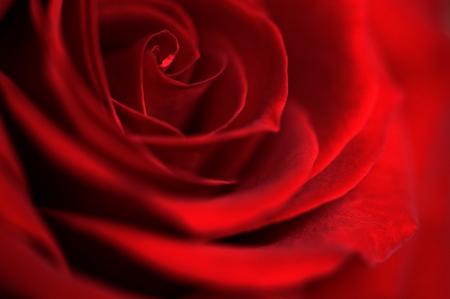 暗い赤バラ花をクローズ アップ。愛のための記号バラに成長しています。赤い咲く花。素敵な赤いバラの詳細ビュー