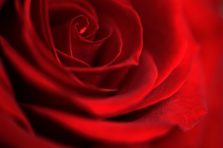 Donkerrode roos bloesem in close up; Symbool voor liefde; Rose groeiende; Rode bloeiende bloem; Detailweergave van prachtige rode roos