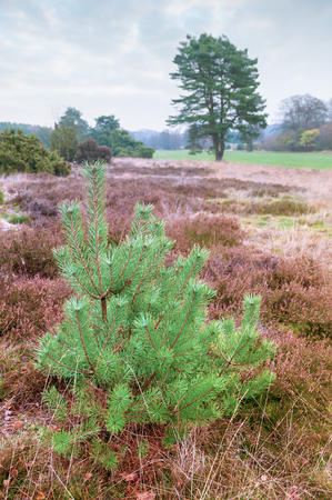 space for type: Typical heath landscape of North Germany; Young pine tree between heather plants; Moorland plants