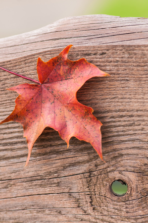 Single red maple leaf on old wooden board with knothole; Autumnal motif; Wooden background with autumnal colored leaf;