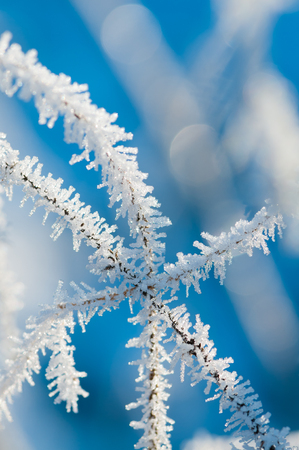 Ice crystals on stems against blue background; Macro shot of small ice spikes on stalks; Blue-white winter impression; Plant with hoar frost in sunlight