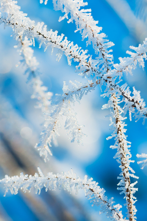 Tender ice crystals on stalks isolated on white background. Winter magic; White frost on white background