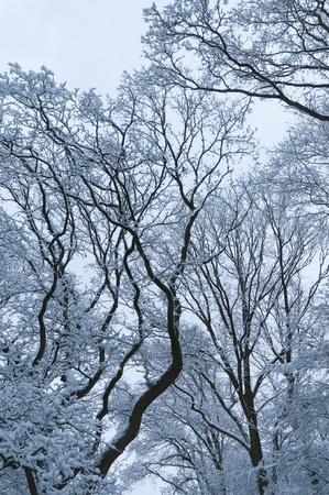 Snow covered tree crowns against gray sky; Winter impressions; Winter magic; Cold season; Winter greeting card
