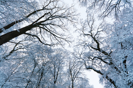 Snow covered trees - view from bottom to top; Winter scenery; Winter greeting card motif; Winter impressions; Walk through the winter forest