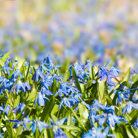 Scilla flowers in sunshine close up; Early blossoming plants; Blue wild flowers