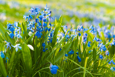 Flowering Scilla in close up; Blue spring flowers with green leaves in sunshine; Spring beginning; Perennial herb flowering in springtime
