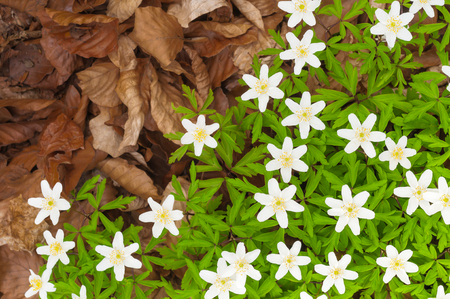Wood anemones and brown, dry leaves in top view; Tender white spring flowers on forest ground; Spring greetings