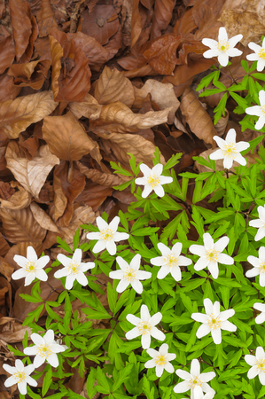 Spring flowers growing through dry foliage - top view; Tender white spring flowers and brown beech leaves on forest ground; Spring messengers
