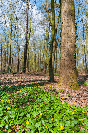 Forest with leafless trees and flowering lesser celandine on sunny spring day; Yellow blooming wild flowers; Spring flowers on forest ground