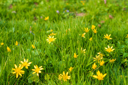 Sunny spring meadow at the edge of the forest; Flowering lesser celandine in green grass; Plants in springtime