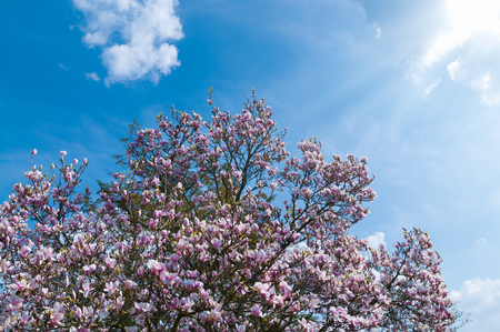 Flowering crown of magnolia tree against blue sky with some clouds; Flowering ornamental tree in sunlight; Pink blossoms of a tree