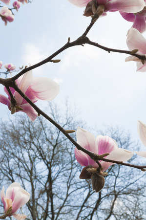 Branch of magnolia tree in pink flowers in front of leafless tree crown and light blue sky; Spring blossoms; Flowering ornamental tree