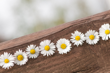 Daisy blossoms on a wooden board against a blurry background; Spring greetings; Line of white blossoms; Wild flowers