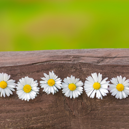 Six daisy blossoms in a line on a wooden board against green background; Greeting card motif for birthday; Picked wild flowers