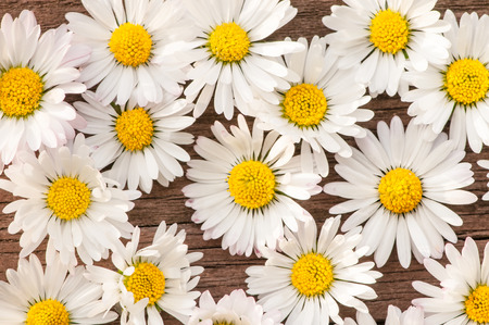 Many daisy blossoms on dark wooden background - top view; Wild flowers with white petals and yellow center; Bellis perennis