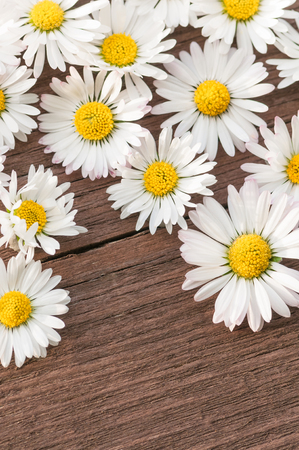 Some daisy flower heads on dark brown cracked wooden background with space for text; Greeting card motif; Blossoms of wild white flowers; Bellis Perennis Standard-Bild