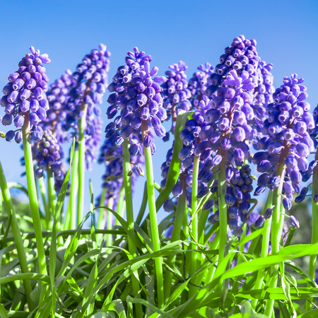 Flowering grape hyacinth plants in green grass against clear blue sky; Blue spring flowers in sunlight; Muscari Stock Photo