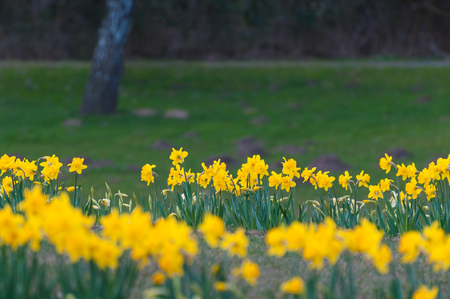 Flower bed with yellow blooming daffodils in park area with lawn; Yellow spring flowers; Narcissus